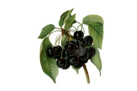Spring Flowers, Autumn Leaves, Grapes Black Cherries Artwork