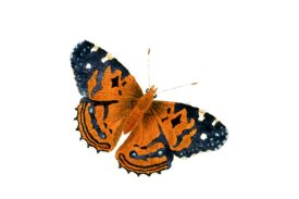 Birds and Butterflies Butterfly Illustration 13 Artwork
