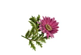 Spring Flowers, Autumn Leaves, Grapes Gerbera Daisy (pink) Artwork