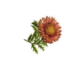 Spring Flowers, Autumn Leaves, Grapes Gerbera Daisy (rust) Artwork