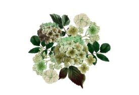 Spring Flowers, Autumn Leaves, Grapes Hydrangea (ivory) Flower Painting Illustration Artwork
