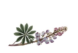 Spring Flowers, Autumn Leaves, Grapes Lupine Artwork