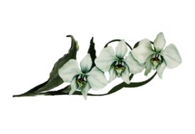 Spring Flowers, Autumn Leaves, Grapes Moon Orchid (white) Artwork