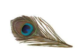 Birds and Butterflies Peacock Feather 02 Artwork