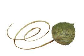 Spring Flowers, Autumn Leaves, Grapes Swirly Bradford Pear Leaf Artwork