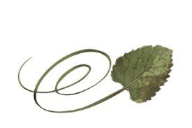 Spring Flowers, Autumn Leaves, Grapes Swirly Cottonwood Leaf Artwork