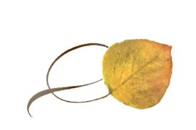 Spring Flowers, Autumn Leaves, Grapes Twisty Aspen Leaf Artwork