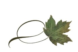 Spring Flowers, Autumn Leaves, Grapes Twisty Sycamore Leaf Artwork