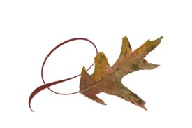 Spring Flowers, Autumn Leaves, Grapes Twisty White Oak Leaf Artwork
