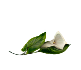 Calla Lily (white) Spring Flowers, Autumn Leaves, Grapes Wedding Illustration