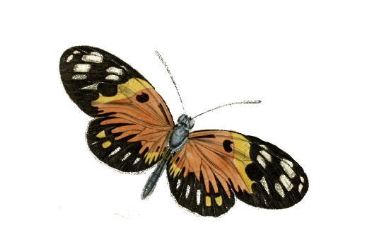 Birds and Butterflies Butterfly Illustration 21 Artwork