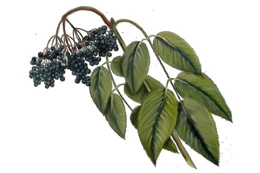 Spring Flowers, Autumn Leaves, Grapes Elderberry Artwork