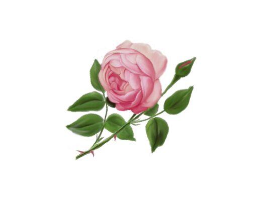 Spring Flowers, Autumn Leaves, Grapes English Rose Artwork