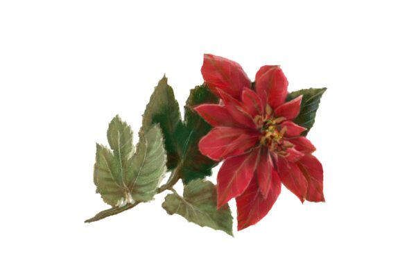 Winter and Holiday Poinsettia Artwork