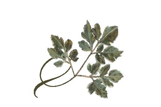 Spring Flowers, Autumn Leaves, Grapes Twisty Honey Locust Leaf Artwork